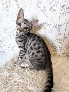 Котенок саванна ф6, мальчик, «Тор»